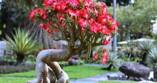 dac diem va cach cham soc cay su phat trien tot 310x165 - Đặc điểm và cách chăm sóc cây sứ phát triển tốt