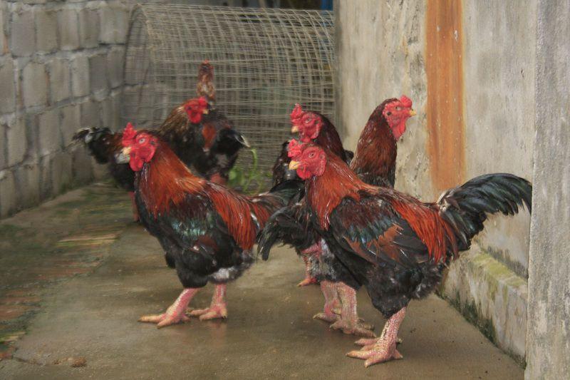 Gà Đông Tảo lai F1, F2, F3. Giá gà Đông Tảo lai giống và thịt hiện nay