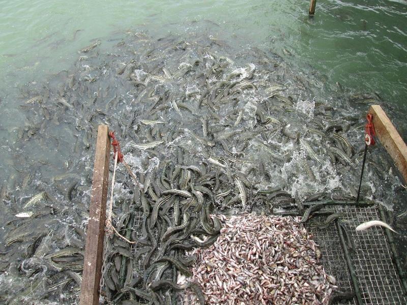 Giá cá lóc giống. Giá cá lóc thịt. Trang trại bán cá lóc giống uy tín