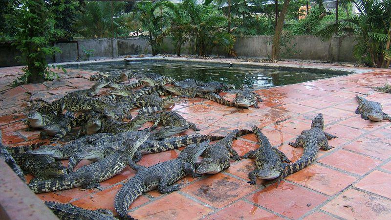 Giá cá sấu giống, sản phẩm từ cá sấu.Trang trại bán cá sấu giống cả nước