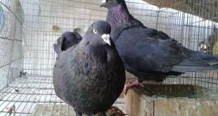Giá chim bồ câu giống. Giá bồ câu thịt. Trang trại bán chim bồ câu giống
