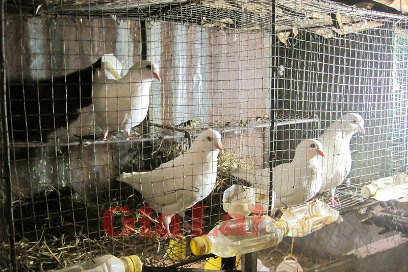 Giá bồ câu Pháp giống.Giá bồ câu Pháp thịt.Trang trại bán bồ câu giống