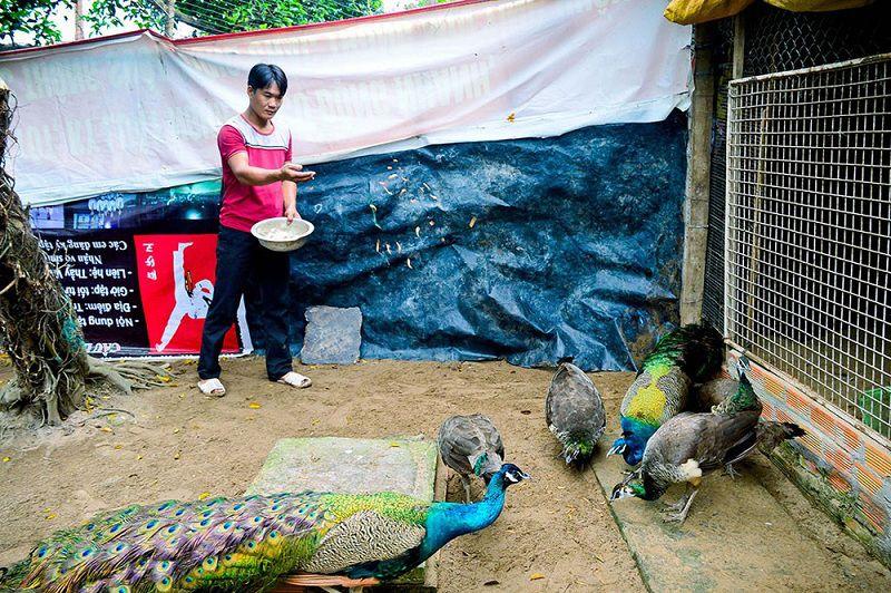 Giá chim công con các giống. Mua chim công giống ở đâu?