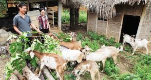Giá dê giống và dê thịt hiện nay. Trang trại bán dê giống trên cả nước