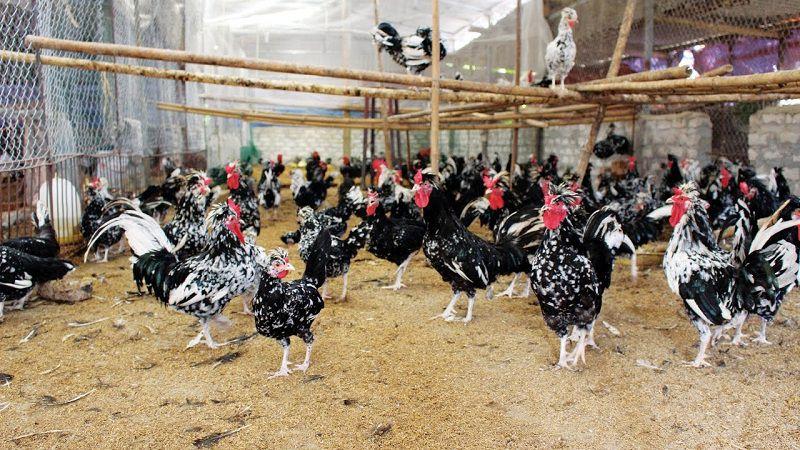 Giá gà quý phi giống. Giá gà quý phi thịt. Trang trại bán gà quý phi uy tín