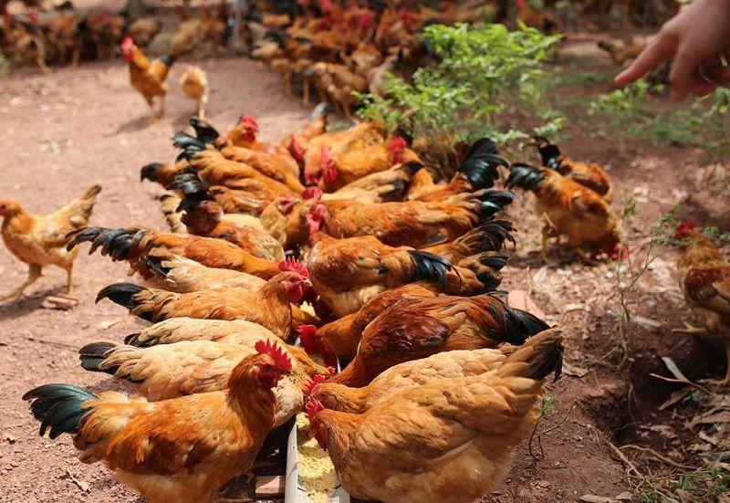 Giá gà ta giống, thịt và trứng. Trang trại cung cấp gà ta giống trên cả nước