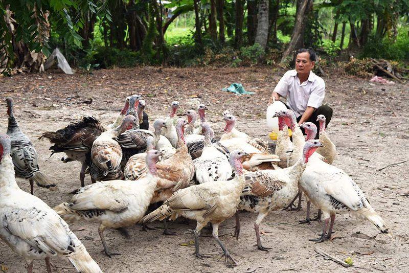 Giá gà tây giống. Giá gà tây thịt. Trang trại bán gà tây giống Hà Nội, TP.HCM
