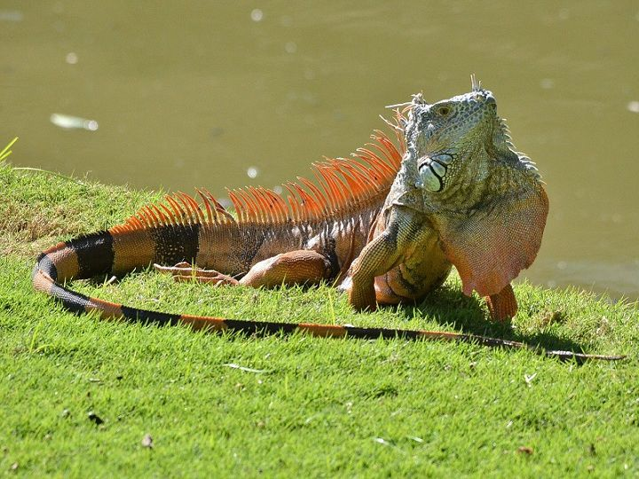 Giá kỳ nhông Iguana. Mua bán Rồng Iguana Nam Mỹ ở Hà Nội, TPHCM