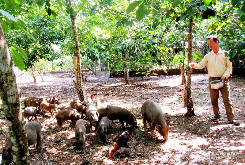 Giá lợn mán giống. Giá lợn mán thịt. Trang trại bán lợn mán giống cả nước