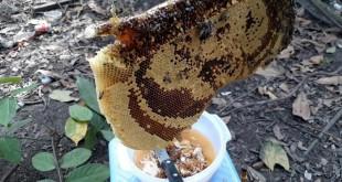Giá ong mật giống. Giá mật ong nuôi. Địa chỉ bán ong mật giống uy tín