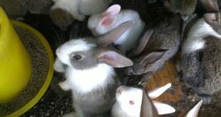 Giá thỏ New Zealand giống và thịt. Nơi bán thỏ New Zealand giống