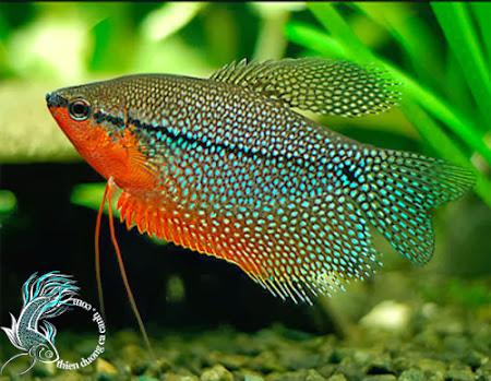 cá mã giáp