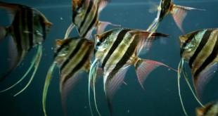 gioi thieu ve ca ong tien than tien 310x165 - Giới thiệu về cá ông tiên (thần tiên)