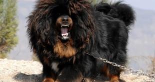 Giống chó to lớn nhất thế giới. Những giống chó khổng lồ nhất thế giới