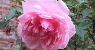 giong hoa hong dieu co hoa dep giong ban dia viet nam 310x165 - Giống hoa hồng điều cổ- hoa đẹp giống bản địa Việt Nam