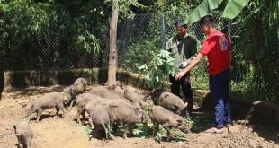Giống lợn rừng Thái Lan. Giá bán và địa chỉ bán lợn rừng Thái Lan giống