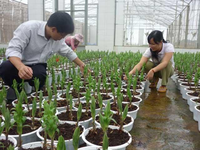 hoa ly cach trong cach cham soc hoa ly no dep – dung dip tet 1 - Hoa ly: Cách trồng, cách chăm sóc hoa Ly nở đẹp – đúng dịp Tết