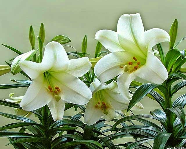 hoa ly cach trong cach cham soc hoa ly no dep – dung dip tet 2 - Hoa ly: Cách trồng, cách chăm sóc hoa Ly nở đẹp – đúng dịp Tết