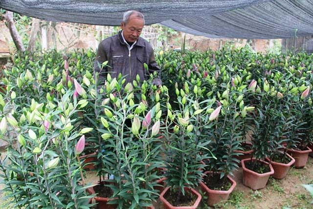 hoa ly cach trong cach cham soc hoa ly no dep – dung dip tet 3 - Hoa ly: Cách trồng, cách chăm sóc hoa Ly nở đẹp – đúng dịp Tết