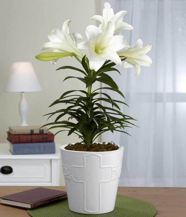 hoa ly cach trong cach cham soc hoa ly no dep – dung dip tet 6 - Hoa ly: Cách trồng, cách chăm sóc hoa Ly nở đẹp – đúng dịp Tết