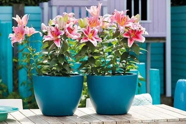 hoa ly cach trong cach cham soc hoa ly no dep – dung dip tet - Hoa ly: Cách trồng, cách chăm sóc hoa Ly nở đẹp – đúng dịp Tết