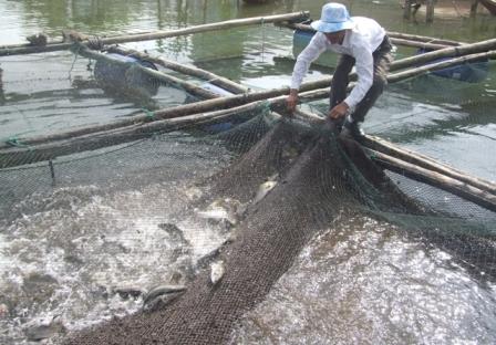 nuôi cá chẽm