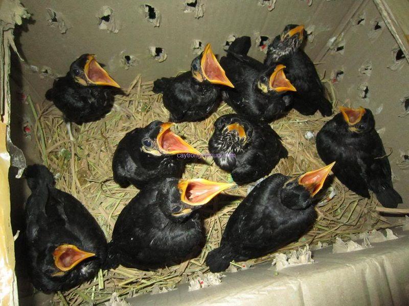 Hướng dẫn cách nuôi chim nhồng nhanh nói. Kĩ thuật nuôi chim nhồng