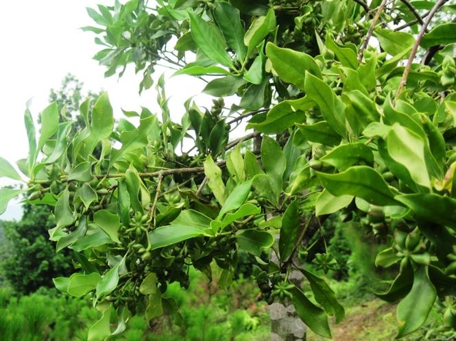 huong dan ky thuat trong cay hoi dung chuan 1 - Hướng dẫn kỹ thuật trồng cây hồi đúng chuẩn