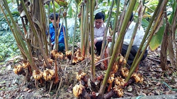 huong dan ky thuat trong cay thao qua 1 - Hướng dẫn kỹ thuật trồng cây thảo quả