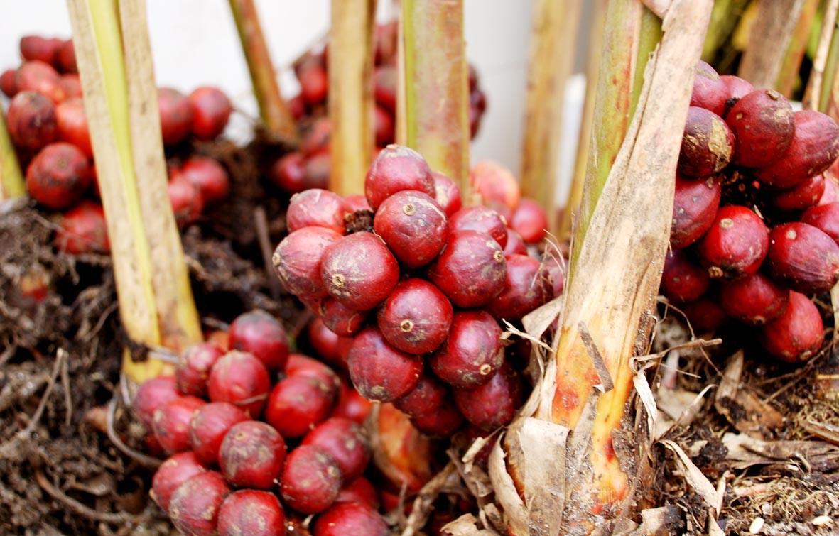 huong dan ky thuat trong cay thao qua - Hướng dẫn kỹ thuật trồng cây thảo quả