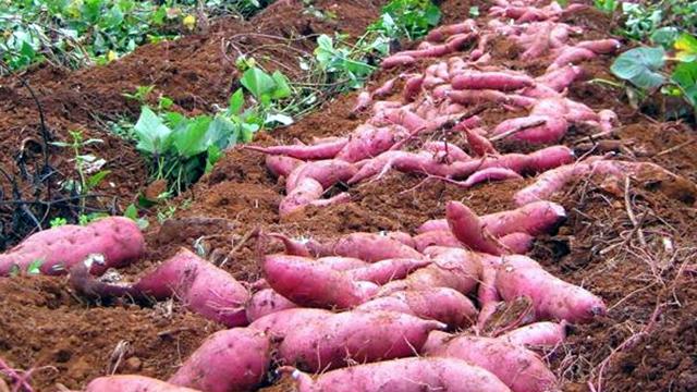 huong dan ky thuat trong khoai lang tim cho ho nong dan moi trong 1 - Hướng dẫn kỹ thuật trồng khoai lang tím cho hộ nông dân mới trồng
