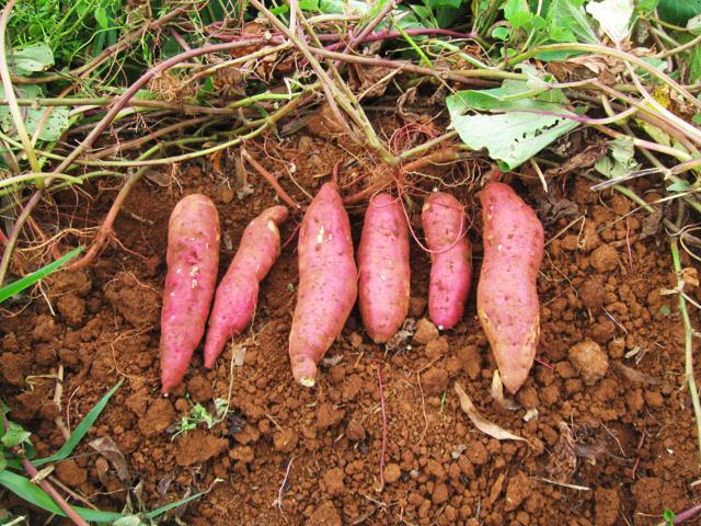 kỹ thuật trồng khoai lang