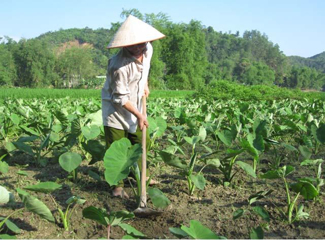 huong dan ky thuat trong khoai mon cho ba con nong dan 1 - Hướng dẫn kỹ thuật trồng khoai môn cho bà con nông dân