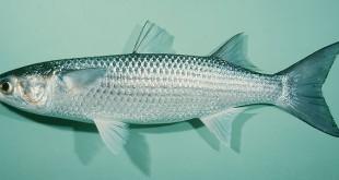 cá đối