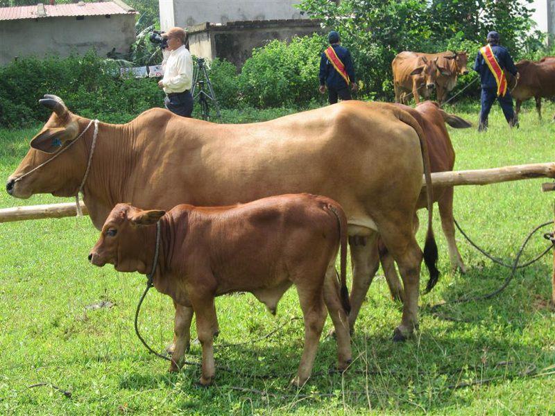 Hướng dẫn phối giống cho bò. Cách nhận biết bò có thai và bò sắp đẻ