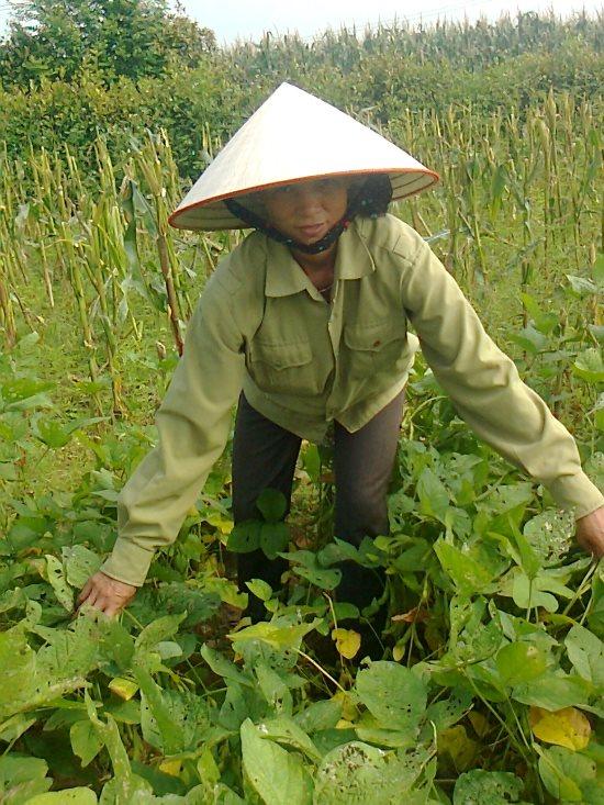 kinh nghiem trong dau tuong tren dat uot - Kinh nghiệm trồng đậu tương trên đất ướt