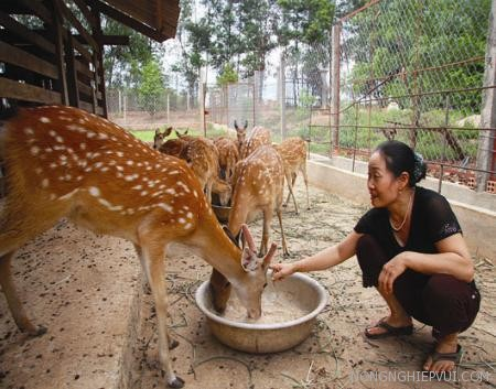 ky thuat chan nuoi huou lay nhung - Kỹ thuật chăn nuôi hươu lấy nhung