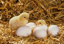 Chicks hatching --- Image by © Elmar Krenkel/zefa/Corbis