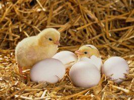 Chicks hatching --- Image by © Elmar Krenkel/zefa/Corbis