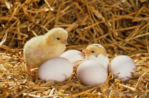 ky thuat khu trung khi ap no trung gia cam - Kỹ thuật khử trùng khi ấp nở trứng gia cầm