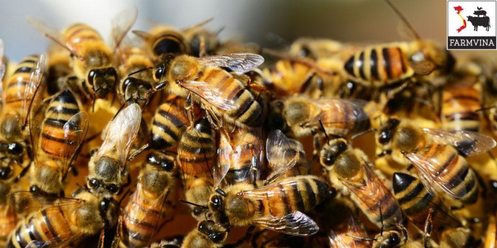 ky thuat kiem tra dan ong khi nuoi dan 2 - Kỹ thuật kiểm tra đàn ong khi nuôi đàn