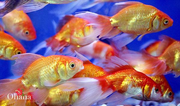Kỹ thuật nuôi cá vàng