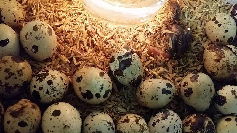 Kỹ thuật nuôi chim cút đẻ trứng. Cách ấp trứng và nuôi chim cút mới nở