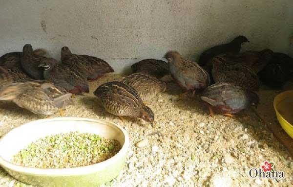 ky thuat nuoi chim cut tai nha – cho hieu qua kinh te cao 2 - Kỹ thuật nuôi chim cút tại nhà – cho hiệu quả kinh tế cao