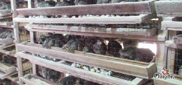 ky thuat nuoi chim cut tai nha – cho hieu qua kinh te cao 3 - Kỹ thuật nuôi chim cút tại nhà – cho hiệu quả kinh tế cao