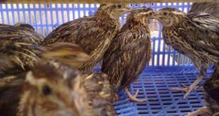 Kỹ thuật nuôi chim cút