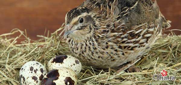 ky thuat nuoi chim cut tai nha – cho hieu qua kinh te cao 4 - Kỹ thuật nuôi chim cút tại nhà – cho hiệu quả kinh tế cao