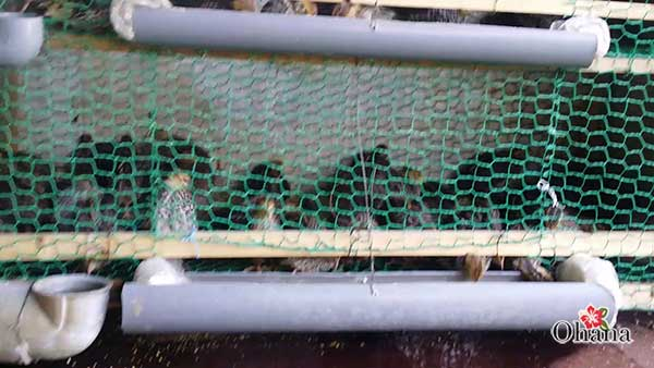 ky thuat nuoi chim cut tai nha – cho hieu qua kinh te cao 5 - Kỹ thuật nuôi chim cút tại nhà – cho hiệu quả kinh tế cao