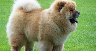 ky-thuat-nuoi-cho-chow-chow