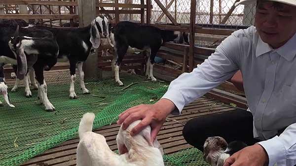 ky thuat nuoi de nhot chuong – nhanh lon – it benh tat 6 - Kỹ thuật nuôi Dê nhốt chuồng – nhanh lớn – ít bệnh tật